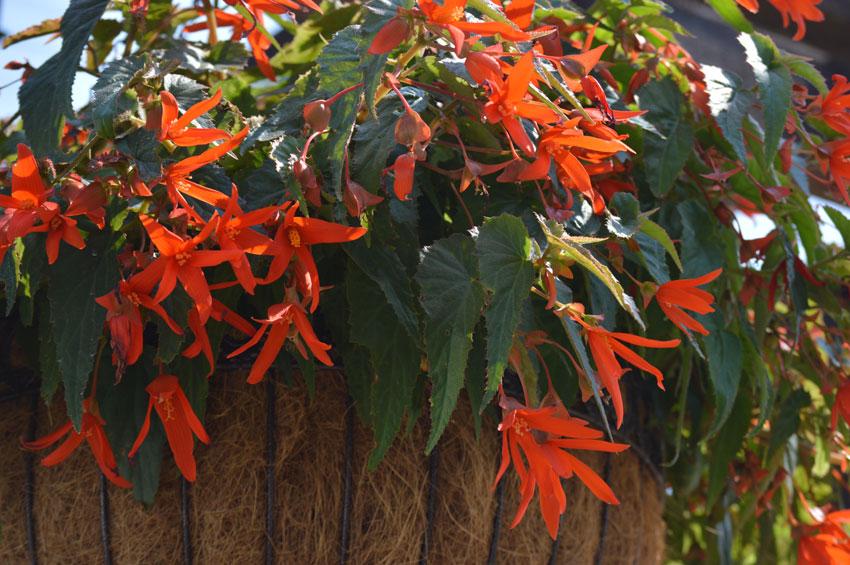 Bonfire Begonia
