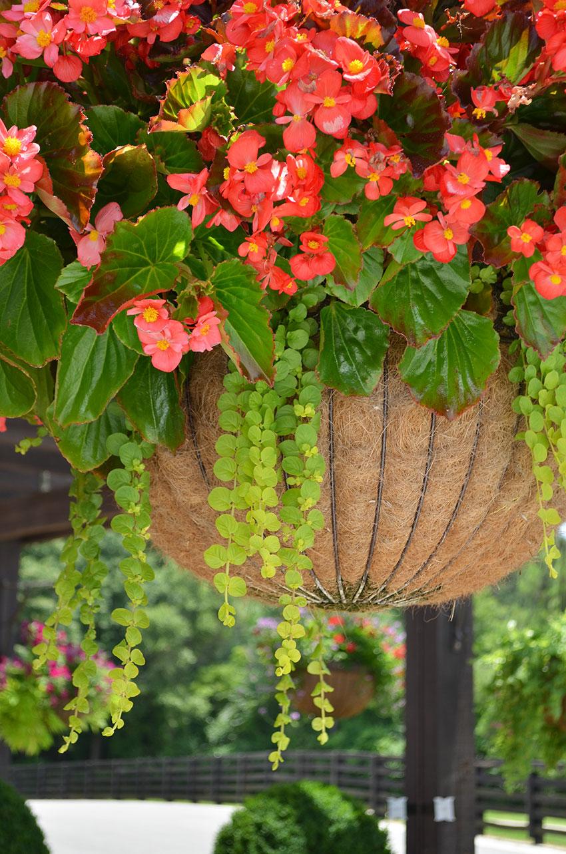 Begonia Lysimachia Basket