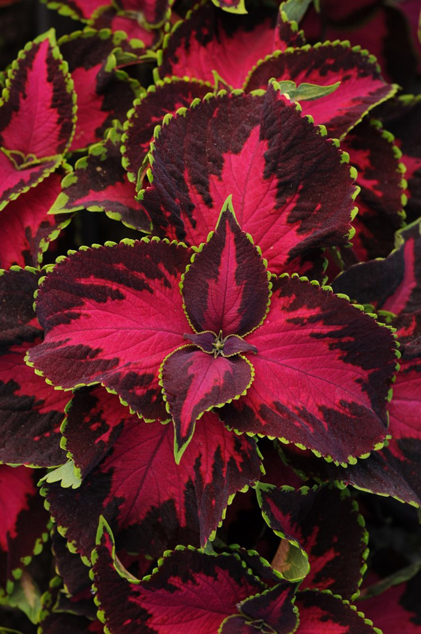 Chocolate Covered Cherry Coleus