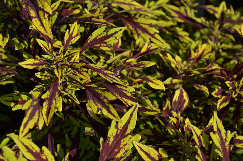Coleus Flame Thrower Chipotle