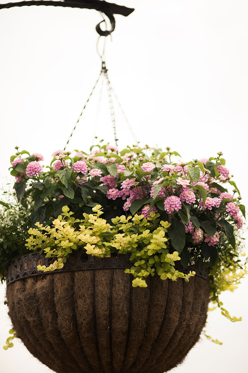 Lantana Basket Combination