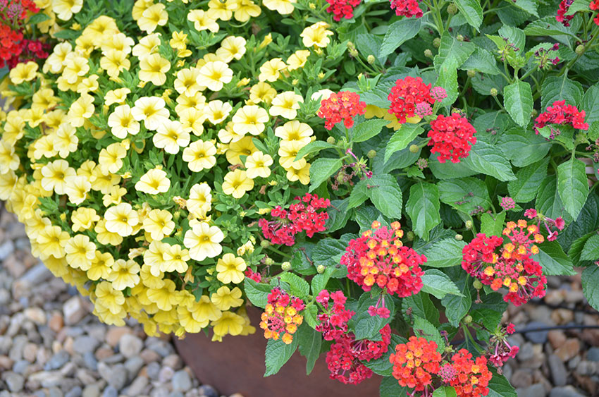 Lantana Calibrachoa Combination