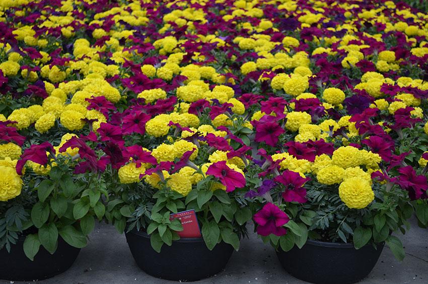 Marigold Petunia Combination