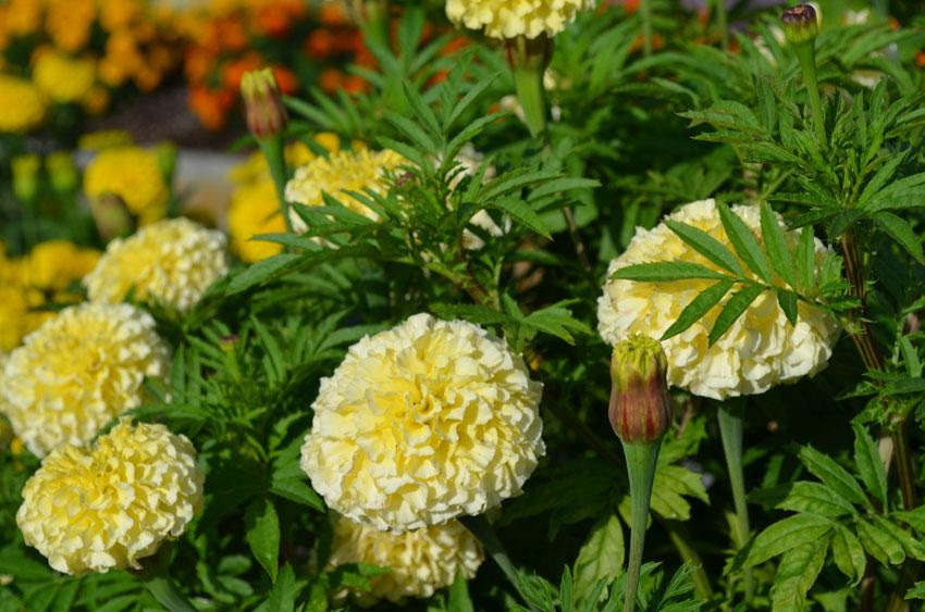 Vanilla Marigold