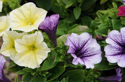 Petunia Combination