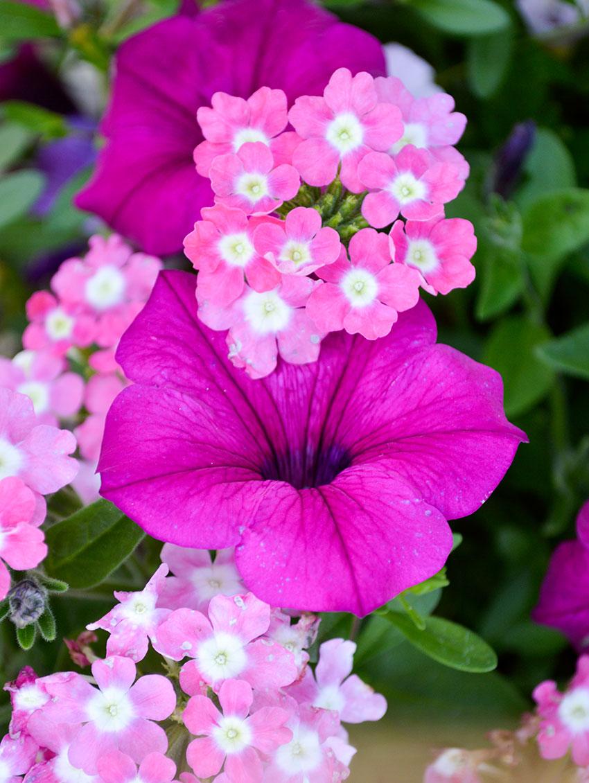 Petunia Verbena Combination 2