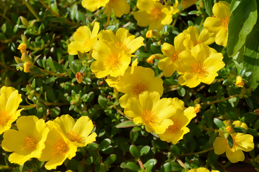 Yellow Portulaca