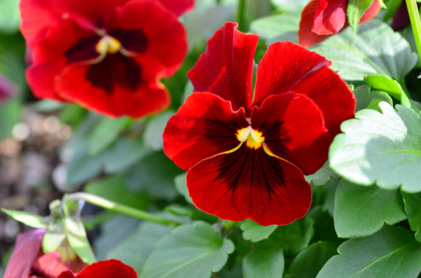 Red Blotch Pansy