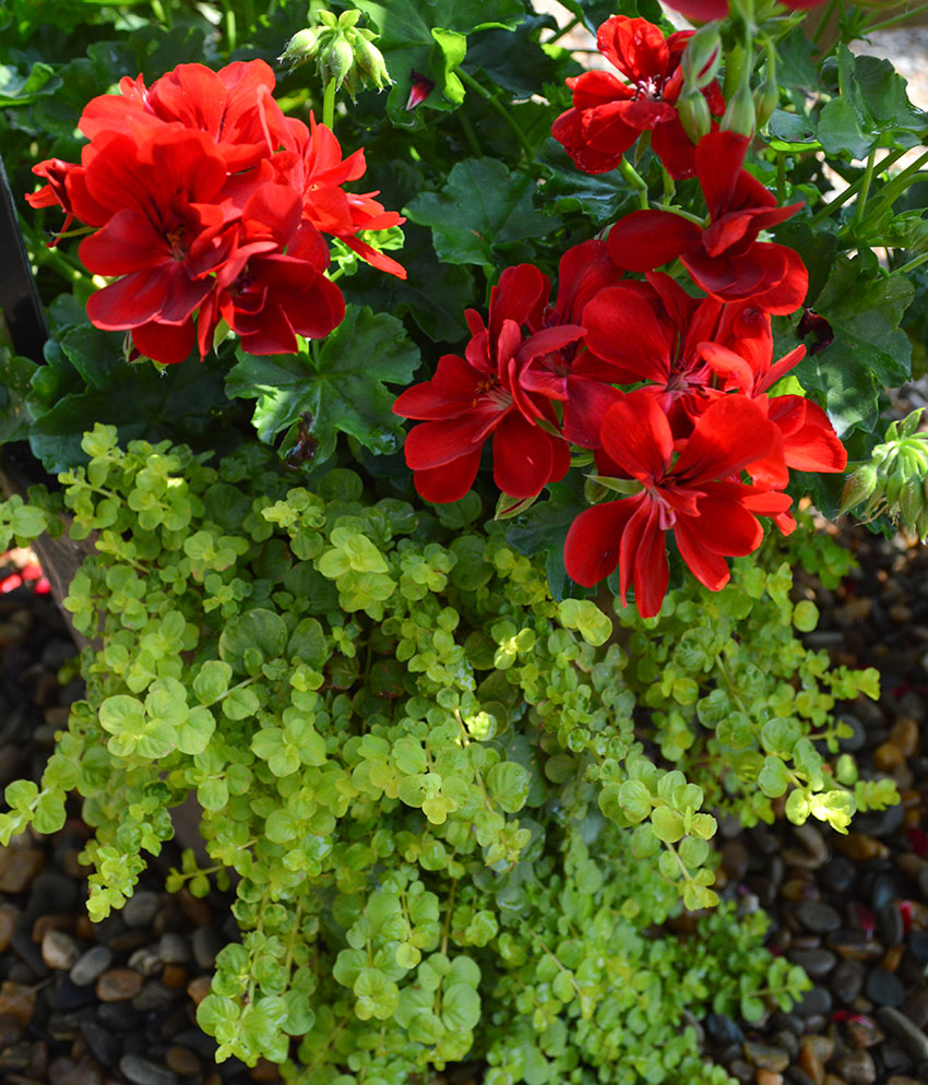 Red Geranium Lysimachia Combination