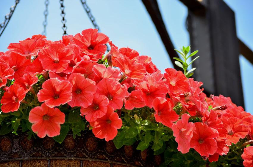 Red Petunia 2