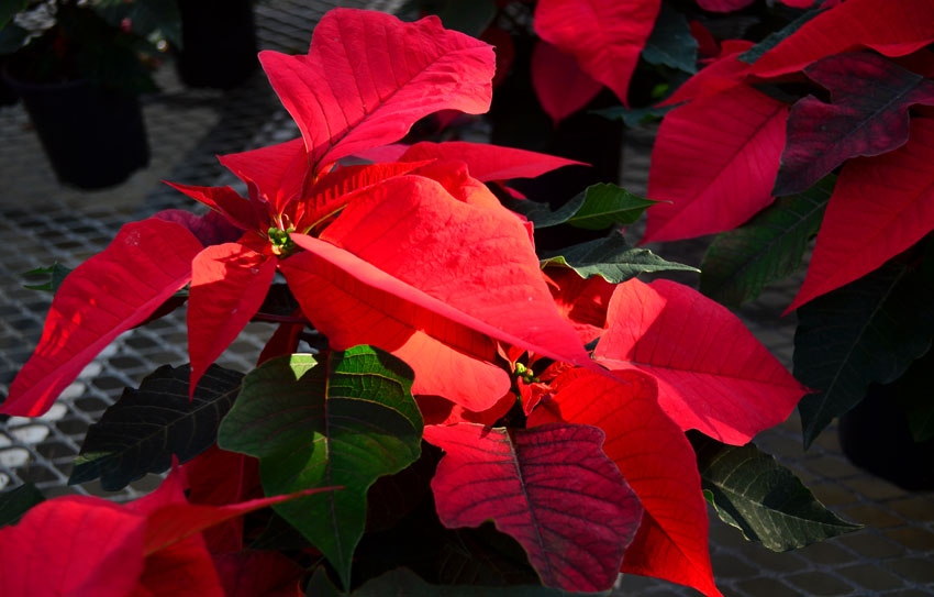 Red Poinsettia 4