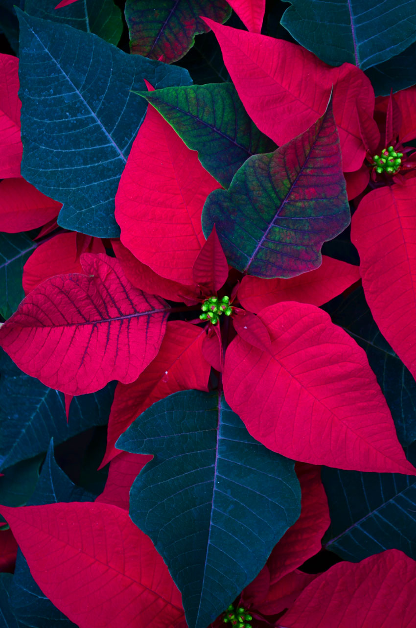 Red Poinsettia 5