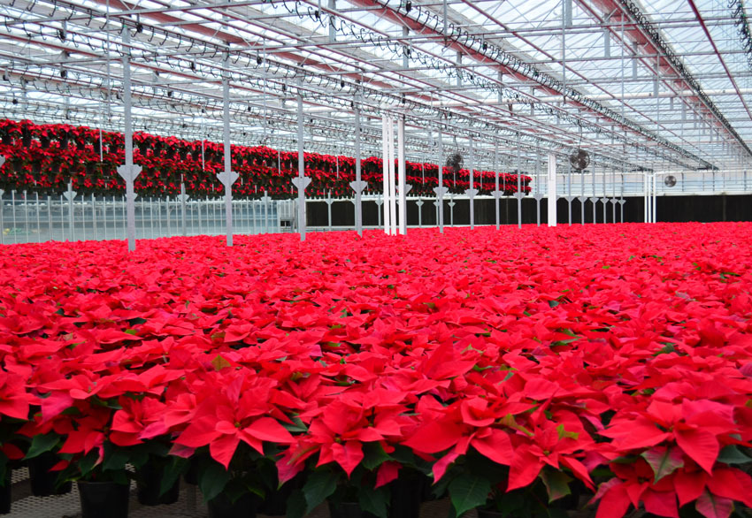 Red Poinsettia 6