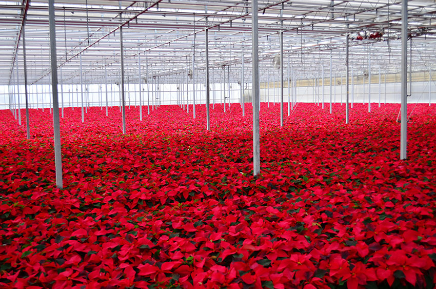 Red Poinsettia 7