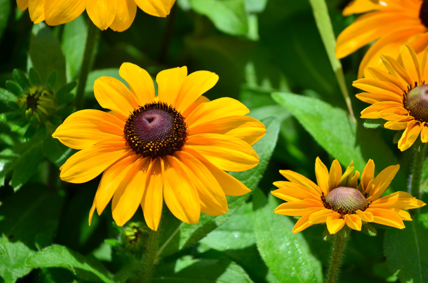 Tiger Eye Rudbeckia