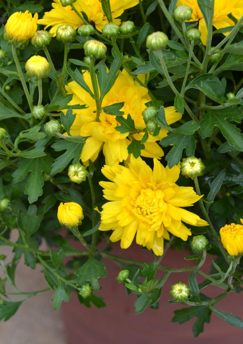Yellow Mums 3