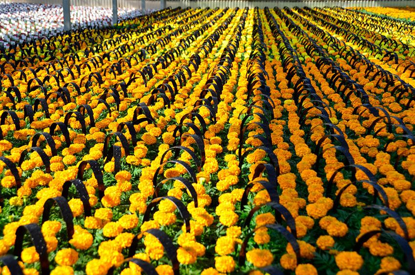 Mums in the Greenhouse