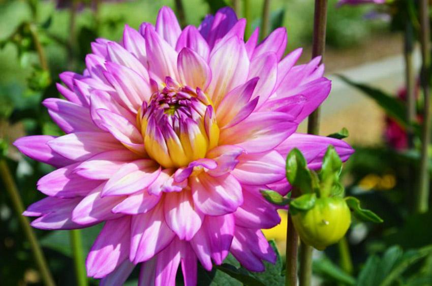 Pink Purple Dahlia