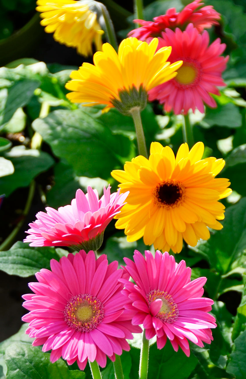 Yellow Pink Gerberas